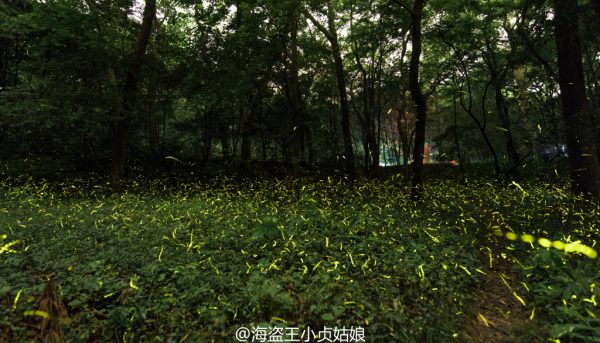 Fireflies show up in the evening. (Image: Weibo.com)