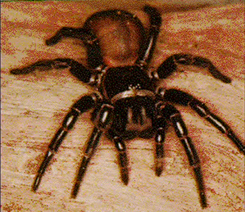 Around 30 - 40 Funnel Web spider bites are reported each year. (Screenshot/YouTube.)