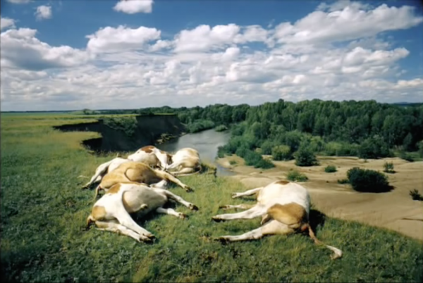RUSSIA. Altai Territory. 2000. Dead cows lying on a cliff. The local population claim whole herds of cattle and sheep regularly die as a result of rocket fuel poisoned soil. (Screenshot/YouTube)