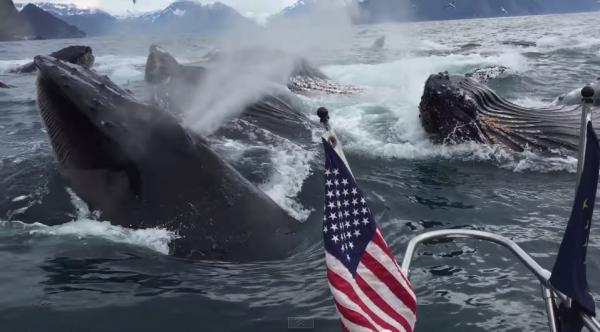 Breeching humpback whales in Alaska. (Screenshot/YouTube)
