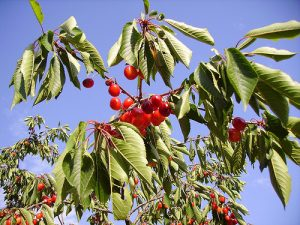 A healthy cherry tree delivers beautiful cherries in summer (Image:JPC2M/flickr)