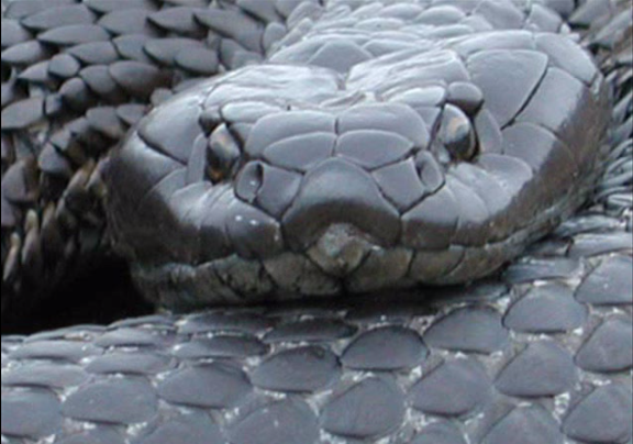 Tiger snakes are generally shy and will run away, but if cornered they will attack. (Screenshot/YouTube.)