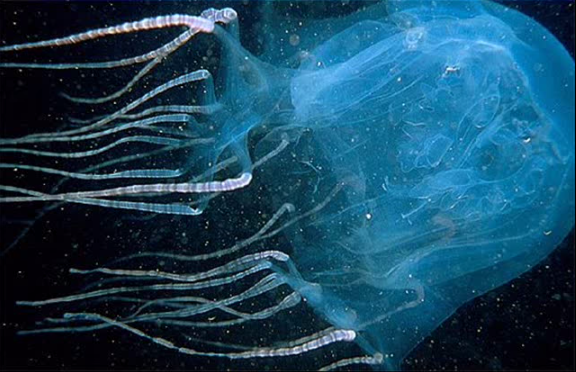 Box Jellyfish stings have been reported in all months in the Northern Territory, and in all months but June and July in Queensland. (Screenshot/YouTube.)