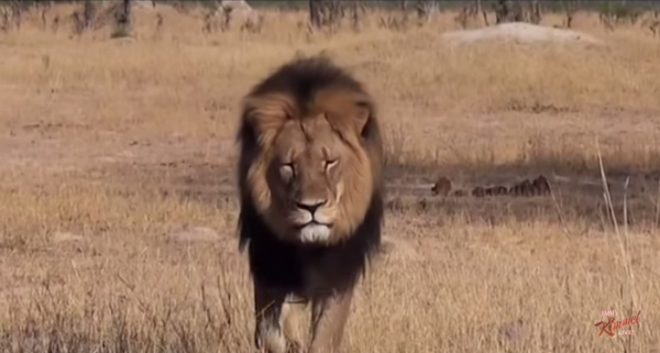 Cecil the lion was a favorite with tourists and guides who went on safari. (Screenshot/YouTube.)
