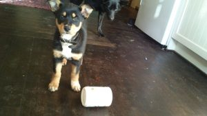 'Betty' the kelpie does not quite understand the game yet (Image:Chani Blue)