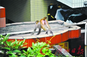 The monkey wandered around the community, looking for the nice food or cool gadget. (Image: