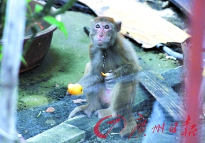 The local residents often feeds the monkey with food. (Image: