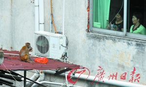 A local resident was taking photos of the monkey when he was having a dinner. (Image: Gzdaily.dayoo.com)