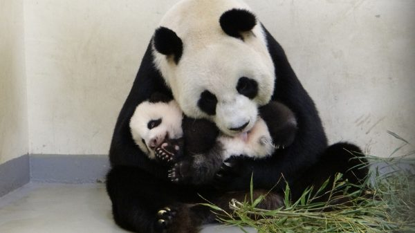 Yuan Yuan and the panda cub Yuan Zai. (Image: Takungpao.com)