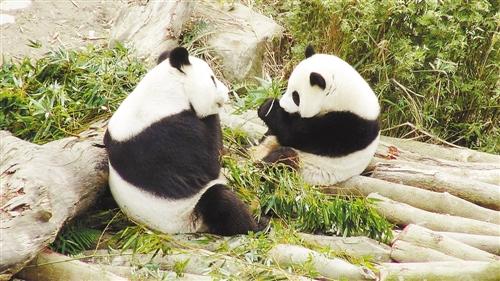 Yuan Yuan and the baby panda were eating bamboos together. (Image: Hexun.com)