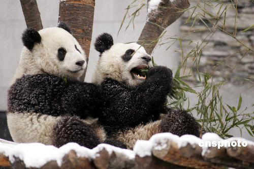 Yuan Yuan and her husband, Tuan Tuan, were playing in the snow. (Image: Sina.com)
