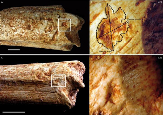 Tooth-marks on a 500,000-year-old hominin femur bone found in a Moroccan cave indicate that it was consumed by large carnivores, likely hyenas. (Image: C. Daujeard PLOS ONE e0152284)