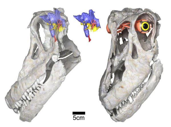 Sarmientosaurus head posture, brain & eye. (Image: Courtesy of WitmerLab)