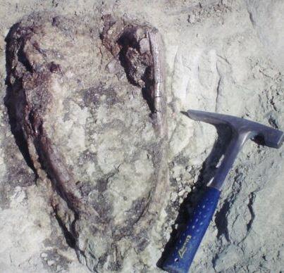 Sarmientosaurus skull in field (Image: Curtesy of Ruben Martinez)