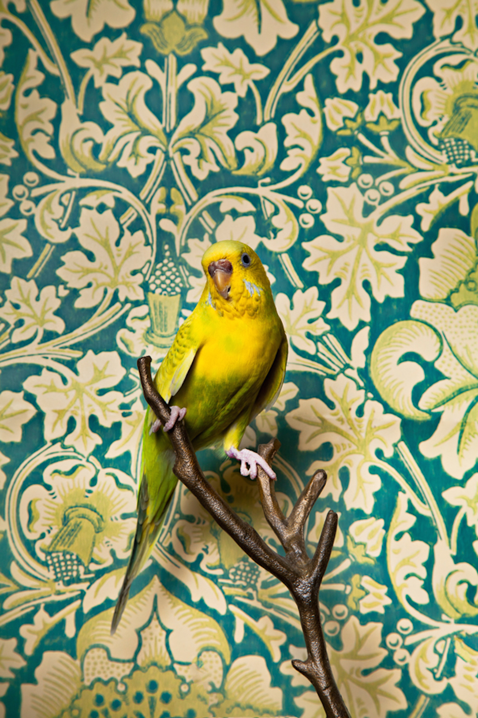 Common Parakeet No. 7034 / Birds of a Feather. (Photography by Claire Rosen)