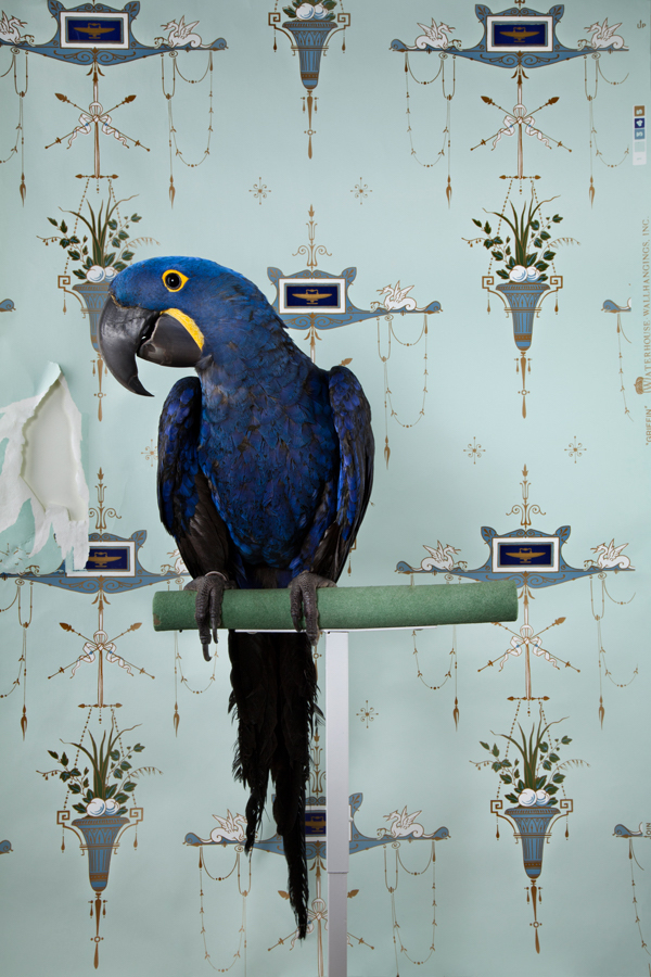 Hyacinth Macaw No. 7677 / Birds of a Feather (Photography by Claire Rosen)