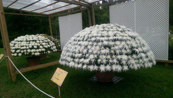 The biggest Daliju Chrysanthemum pot has 2016 flowers. (Billy Shyu Vision Times)