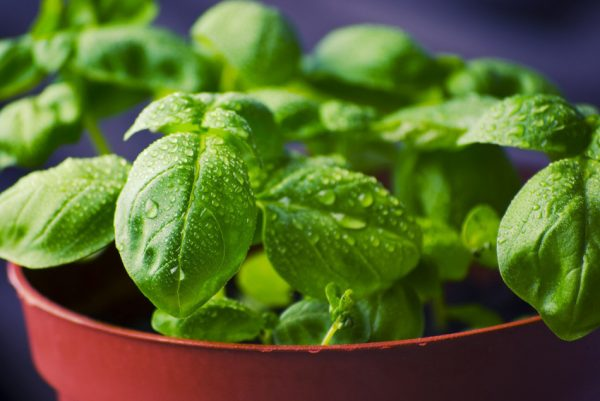 Basil boiled in water has several health benefits. (Image: via pixabay / CC0 1.0)