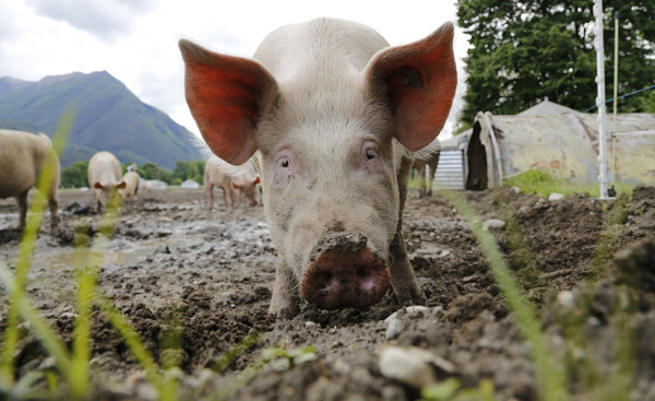 Pigs can fly on a farm in China. (Image: via pixabay / CC0 1.0)