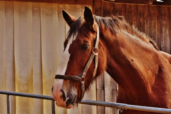 'An old horse knows the way' is an expression for an old hand, one who knows the ropes and can lead you out of problems — one of the many popular Chinese idioms. (Image: pixabay / CC0 1.0)