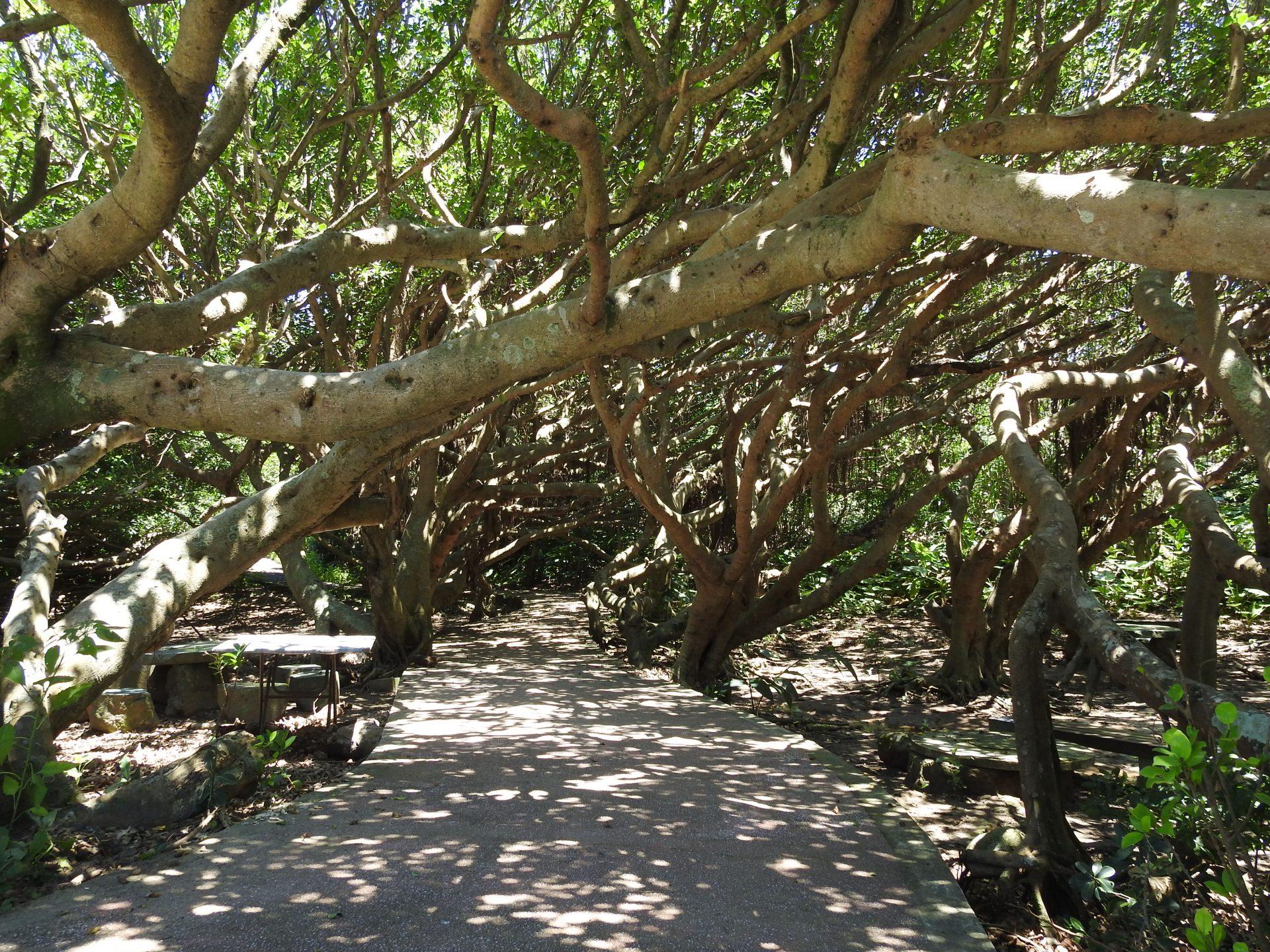 """Fengjianshu (Wind-cut Trees,風剪樹) is unique scene at Fugui Cape Park. (Image: Billy Shyu/ Vision Times)"