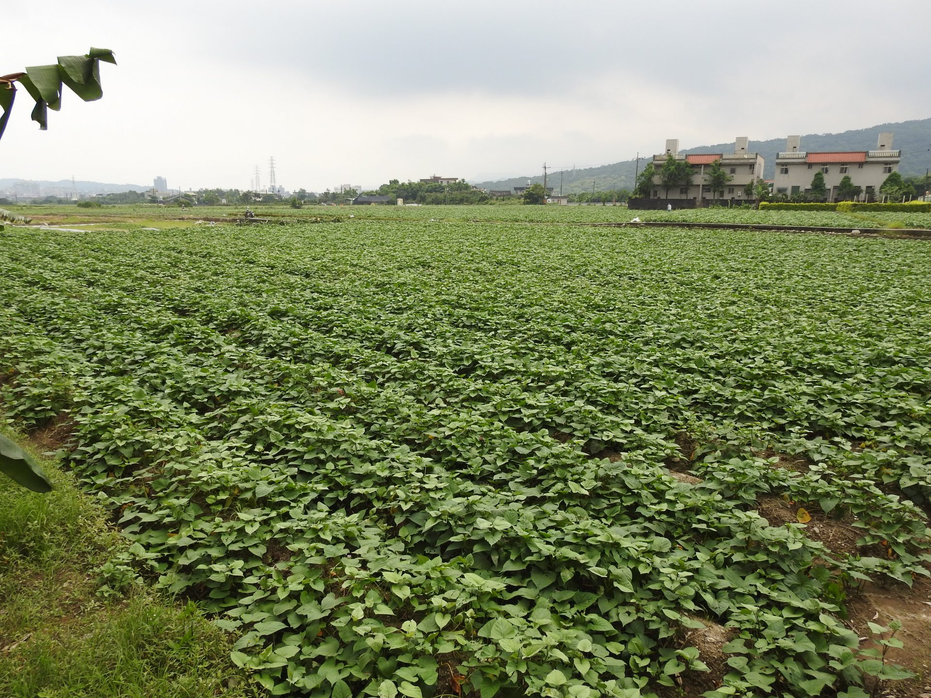 The immense fields of sweet potatoes in the Jinshan District. (Image: Billy Shyu/ Vision Times)