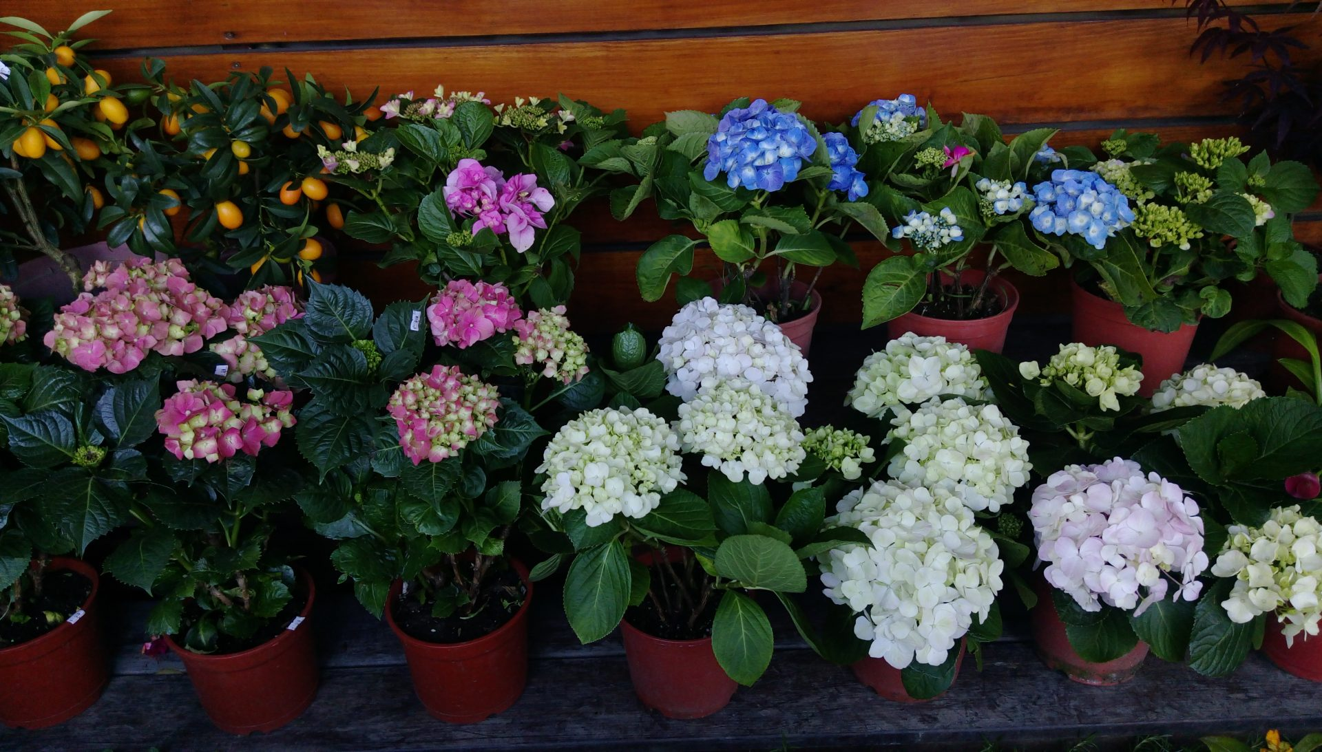 A variety of flower plants are sold at the shops in Hydrangea plants and other bonsai plants are sold at Zhuzihu in Taiwan's Yangmingshan'. (Image: Juliet Fu/ Vision Times)