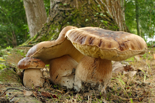 King Bolete mushrooms (Boletus edulis) is a most sought-after edible bolete. It is frequently found at the edges of clearings in broad-leaved and coniferous forests. (Image: Bernard Spragg via flickr CC0 1.0)