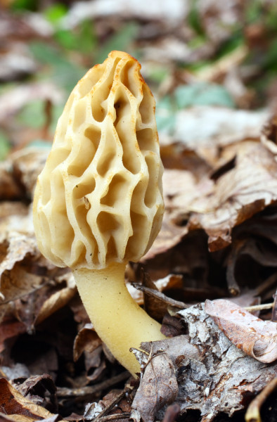 Edible morels are considered a gourmet's delight and one of America's most popular and highly regarded mushrooms. (Image: Jason Means via flickr CC BY-NC-ND 2.0 )