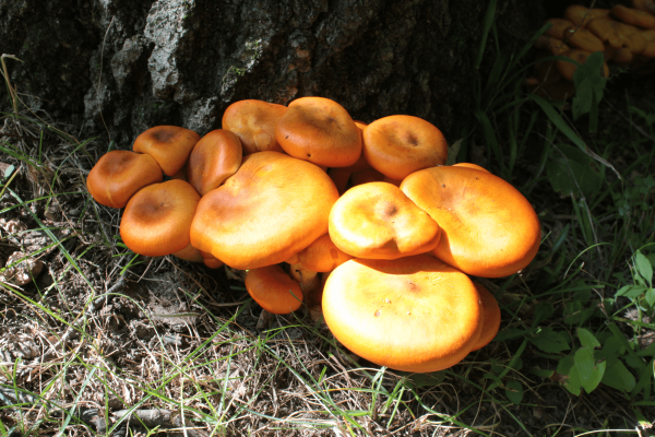 The toxic jack-o'-lantern mushroom is a common mushroom and has two forms in the United States. (Image:  Amy Rebella  via  flickr  CC BY 2.0 )