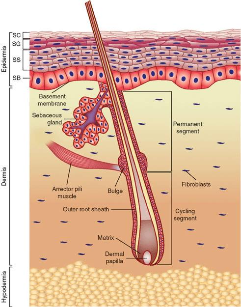 Anatomy_of_the_skin