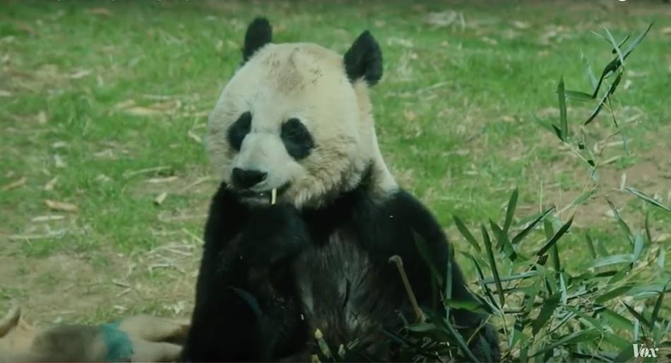 Pandas natural habitat is in China. (Image via Vox YouTube/Screenshot)