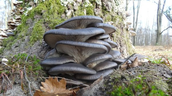 Oyster mushrooms belong to a genus of some of the most commonly eaten mushrooms. (Image: pixabay / CC0 1.0)
