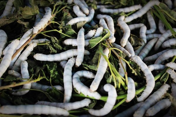 A ban on the export of Silkworms tried to keep silk exclusive to China. (Image: Pixabay / CC0)