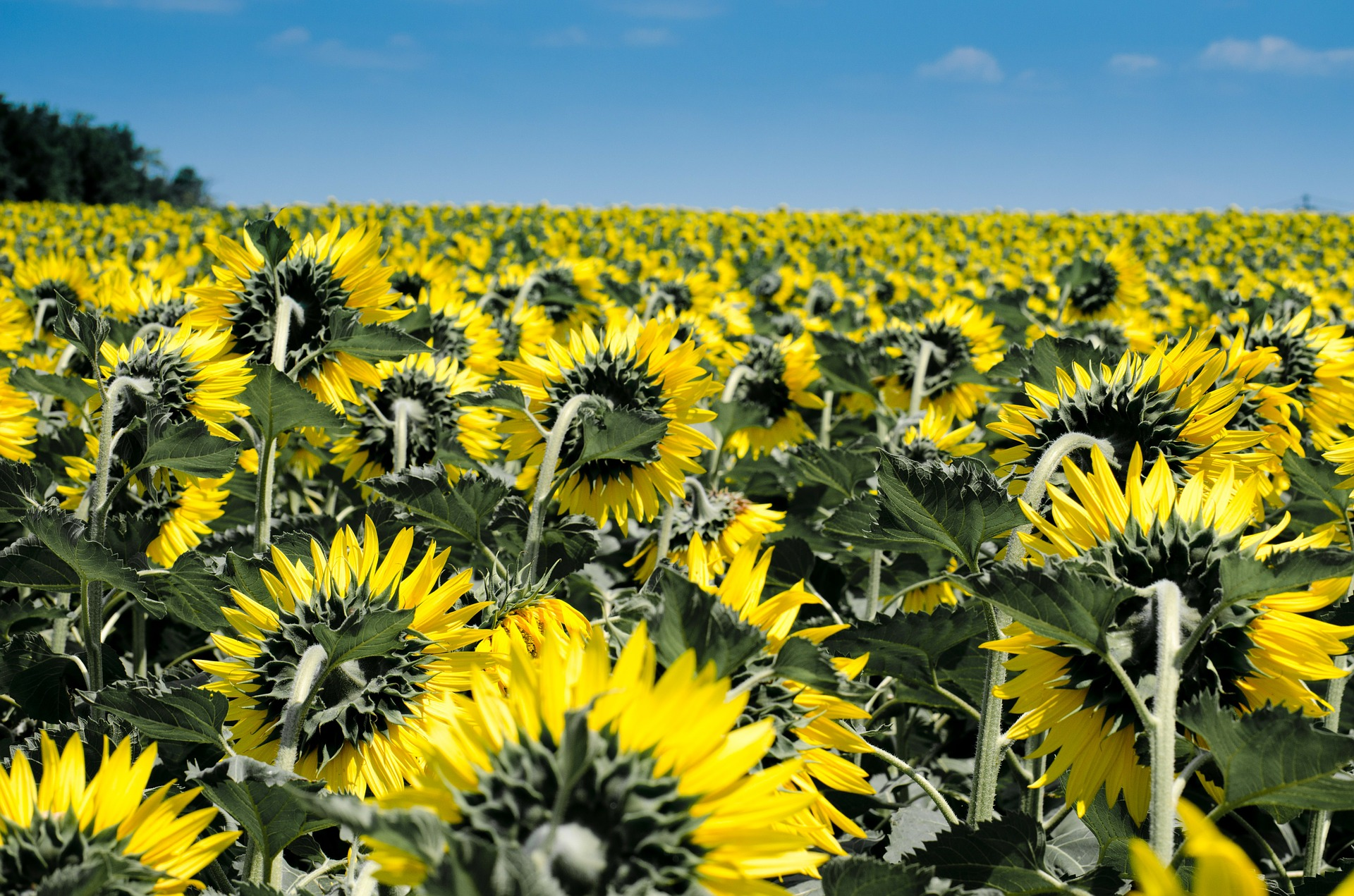 Sunflowers only seem to fall into the clever pattern if the amount of plants growing on a field reaches a certain density. Photo Credit: Kincse_j via Pixabay cc0
