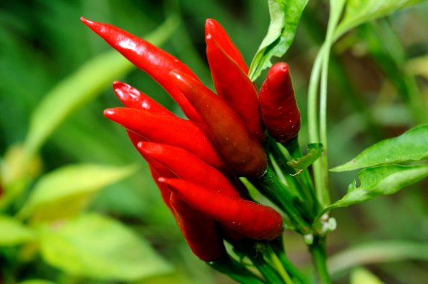 2_red-hot-chili-peppers-2365579_1920_cc0_pixabay