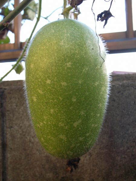 Wax gourd can also reduce heat in the body and eliminate sputum. (Image: via flickr CC BY-SA 2.0)