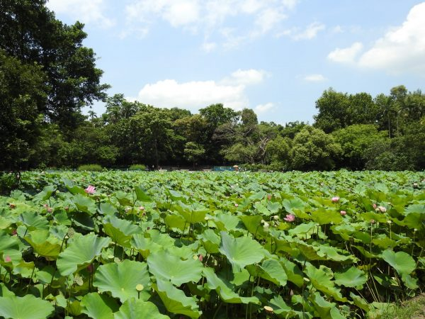 The lotus pond adjacent to the Nai Hai Educational Park in Taipei (Image: Billy Shyu/ Vision Times)