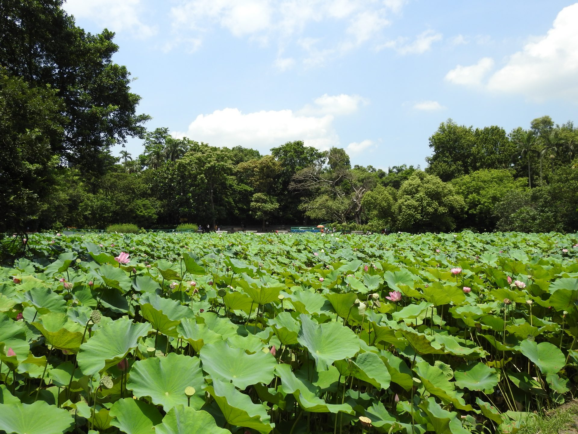 The lotus pond adjacent to the Nai Hai Educational Park in Taipei (Image: Billy Shyu/ Vision Times)