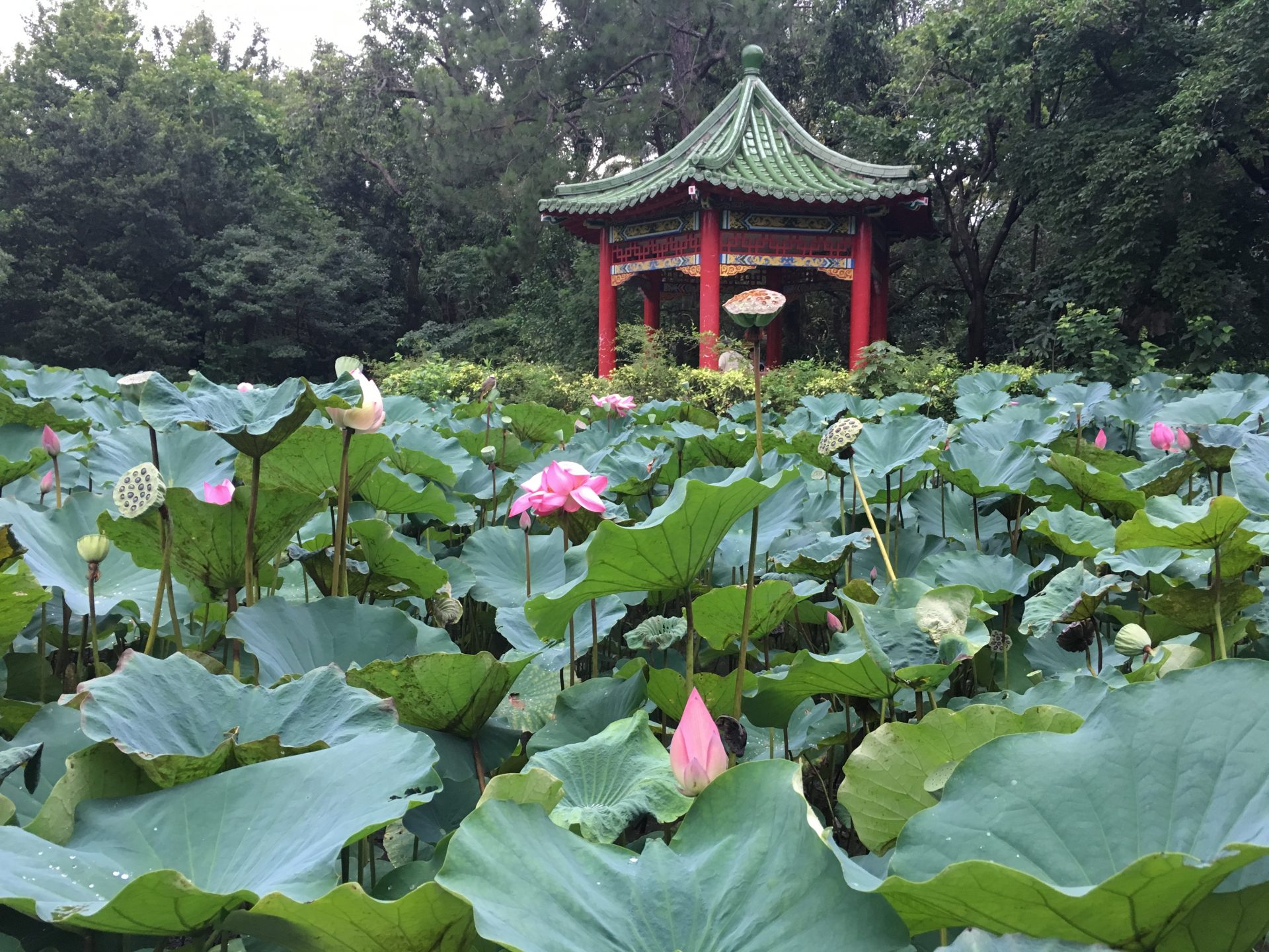 The blossoming lotus flowers in the lotus pond of Taipei Botanical Garden (Image: Courtesy of Terry Lee)