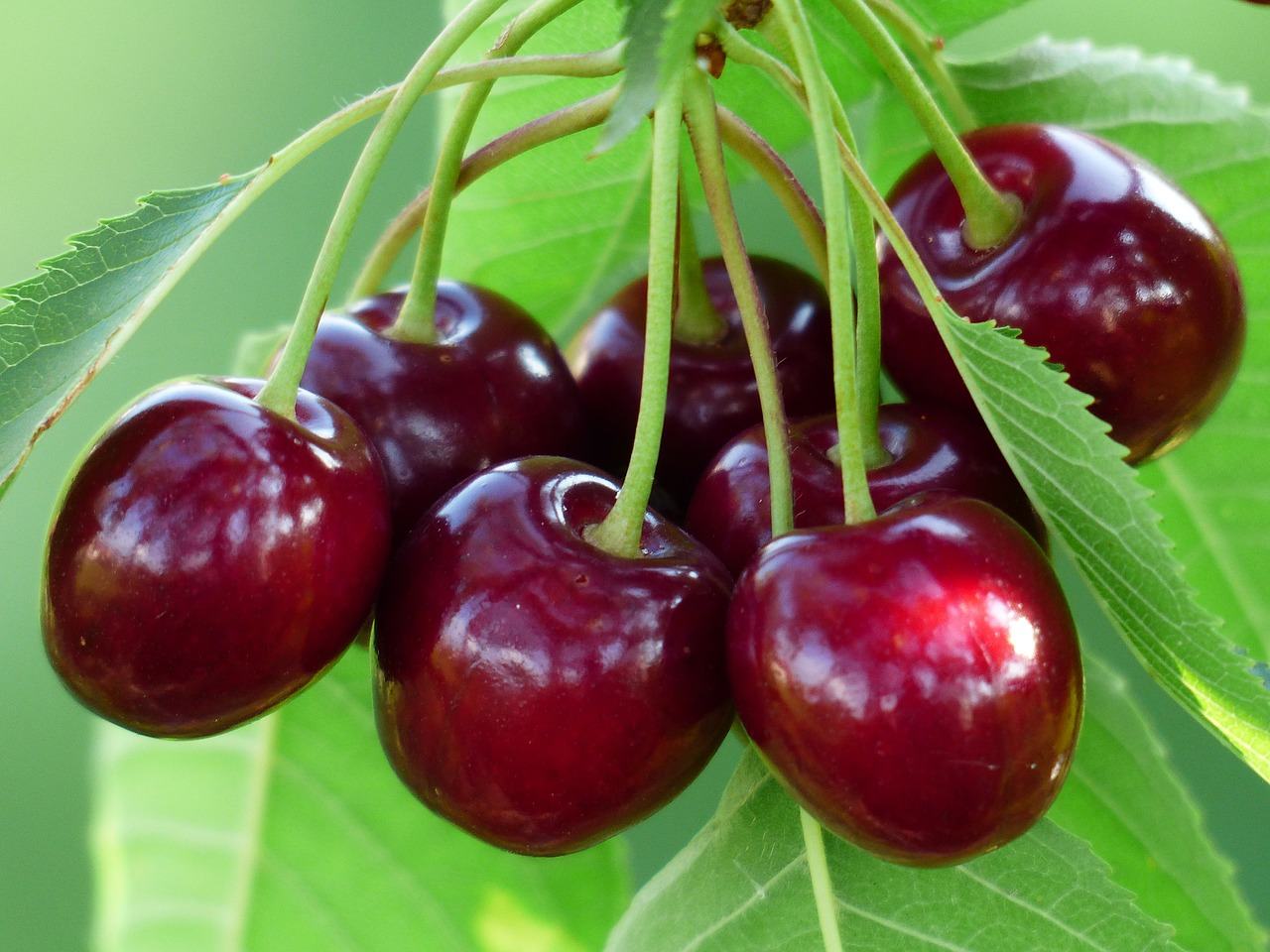 The level of anthocyanidin in cherries is higher than those in grapes, strawberries, and blue berries. (Image: pixabay / CC0 1.0)