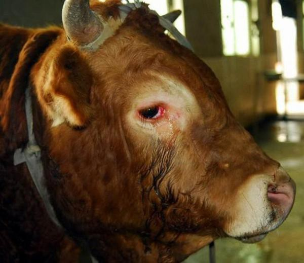 A cow cried before being slaughtered.