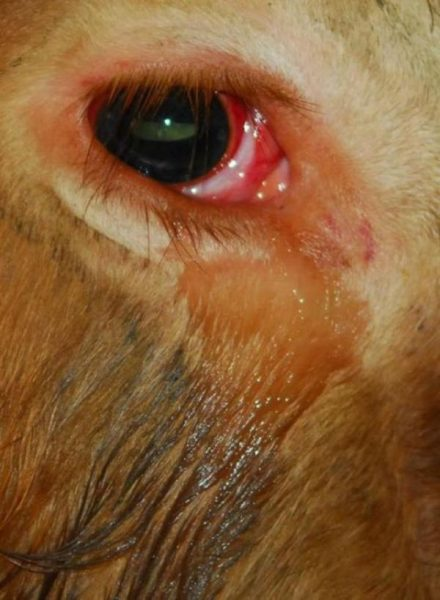 A cow cried before being slaughtered