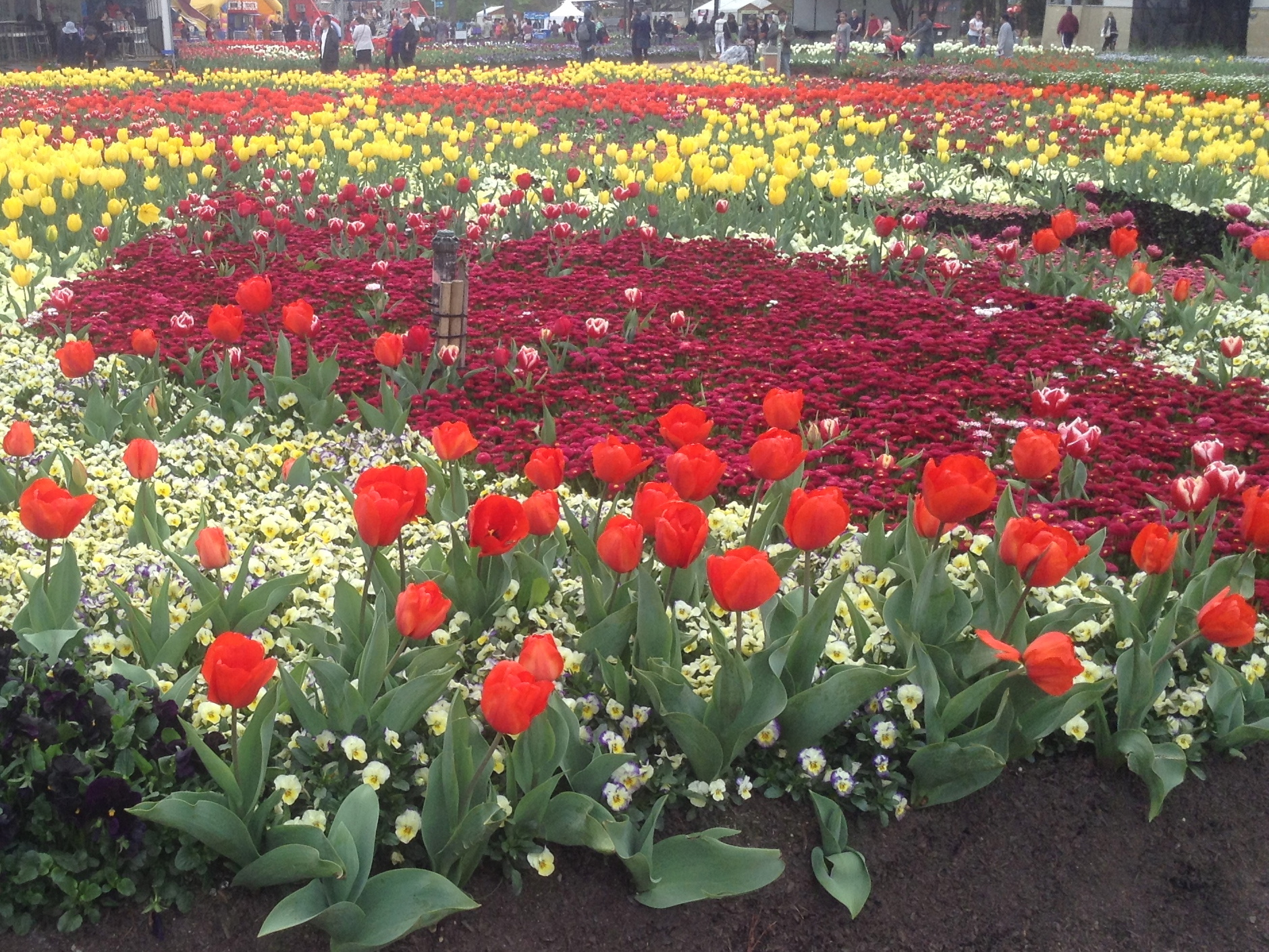 Different varieties of Tulips and annuals on display at the Canberra Floriade. By Trisha Haddock