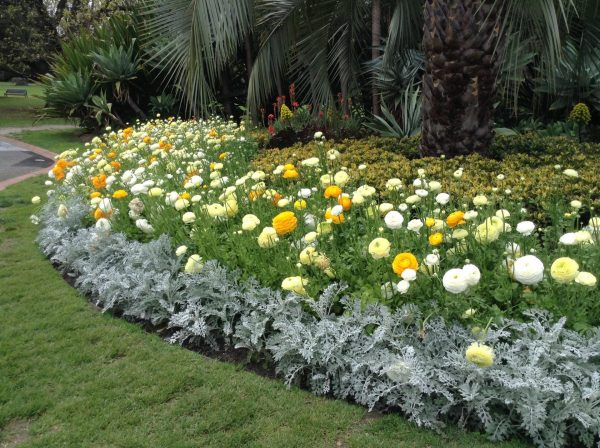 Photo of Rununculus flower bed at Fitzroy Gardens in Melbourne, by Trisha Haddock