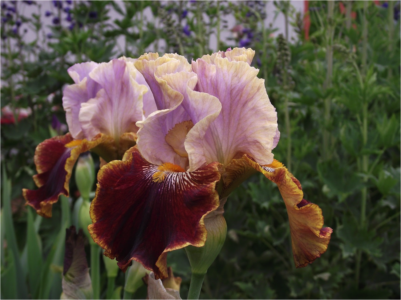 Photo of a bearded Iris. (Image: Pixabay / CC0)