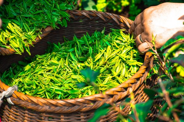 To make the desirable oolong tea it is necessary for the leaves to wilt in the sun after they are picked. (Image: pixabay / CC0 1.0)