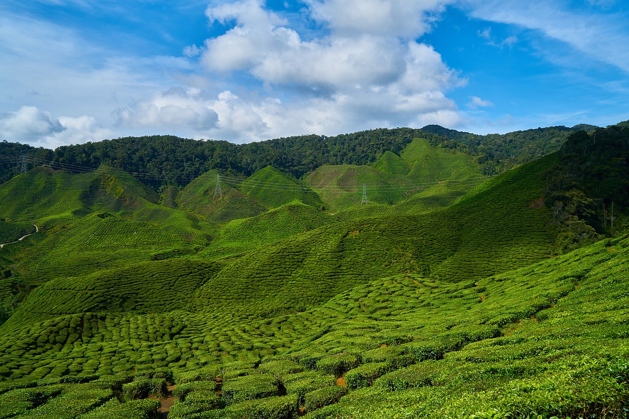 The best quality oolong tea is grown and processed in Taiwan. The costliest is Dong Ding, named for the Dong Ding Mountain in the Taiwanese Province of Nantou. (Image: pixabay / CC0 1.0)