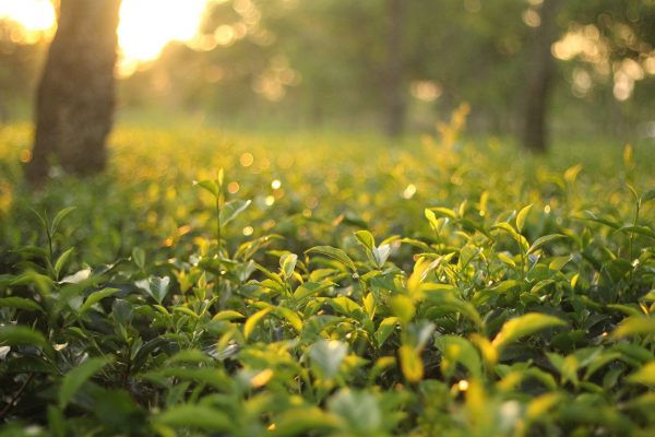 Oolong is one of the most complicated types to produce (Image: pixabay / CC0 1.0)