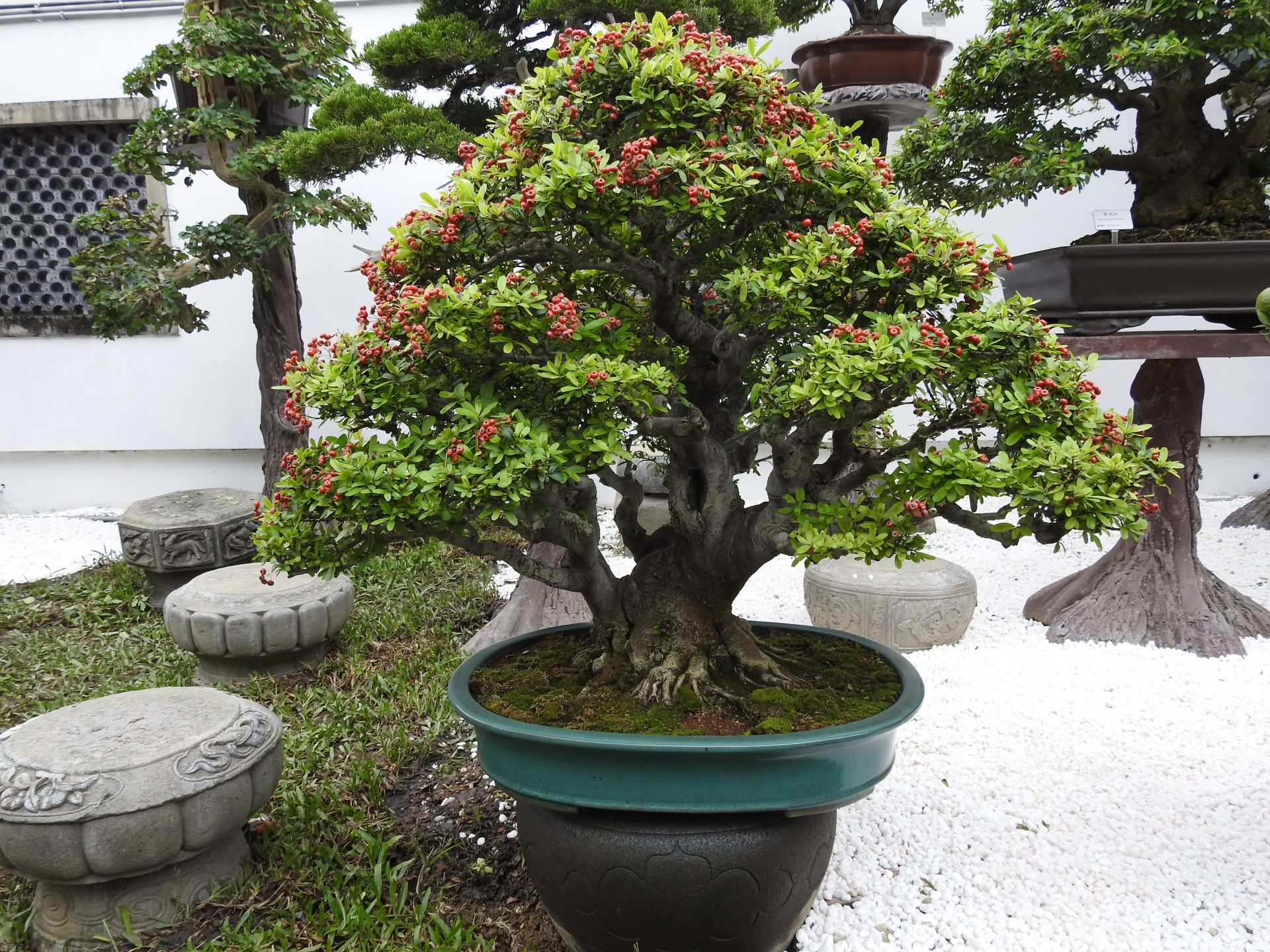 One of the bonsai trees in Amy Liang Bonsai Museum in Taipei (Image: Billy Shyu/ Vision Times)